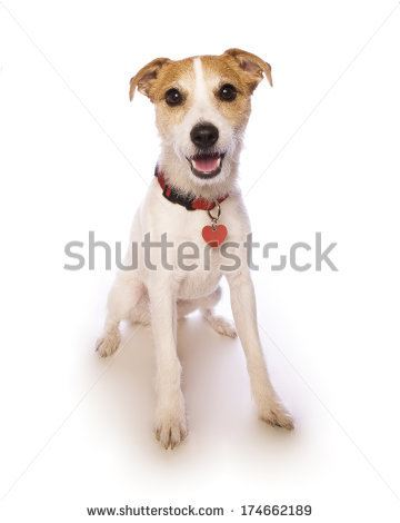 stock-photo-jack-russell-terrier-sitting-smiling-at-camera-isolated-on-white-background-174662189